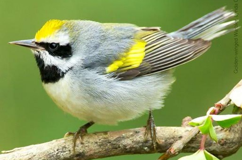 Finding Back Way Home For Golden-winged Warbler